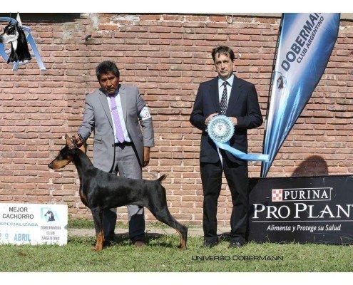 Con 6 meses, en su debut se consagró mejor cachorro de exposición, en la exposición especializada del DCA, el 26 de Abril 2017.